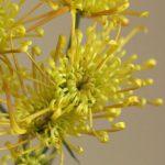 自分が使った花材事典:ホマロ(糸菊)
