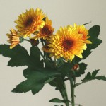 自分が使った花材事典:スプレー菊(黄 複輪)