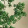 自分が使った花材事典:ミリオグラタス