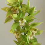 自分が使った花材事典:シンビジウム(グリーン)