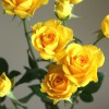 自分が使った花材事典:スプレーバラ(黄)