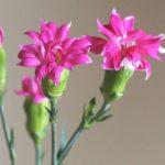 自分が使った花材事典:スプレーカーネーション(スターチェリーテッシノ)