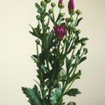 自分が使った花材事典:小菊(紅)