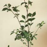 自分が使った花材事典:ニシキギ(葉つき)