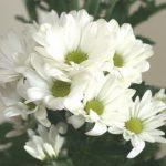 自分が使った花材事典:スプレー菊(白)