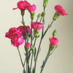 自分が使った花材事典:スプレーカーネーション(ローズピンク)