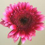自分が使った花材事典:ガーベラ(ローズピンクぼかし)