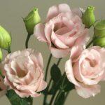 自分が使った花材事典:トルコキキョウ(薄ピンク)