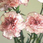 自分が使った花材事典:カーネーション(マリポサ)