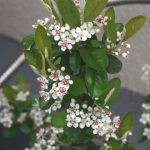 アロニアの開花画像