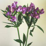 自分が使った花材事典:アルストロメリア(紫)
