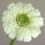 自分が使った花材事典:ガーベラ(白)