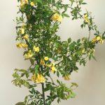 自分が使った花材事典:モッコウバラ