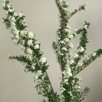 自分が使った花材事典:イワデマリ
