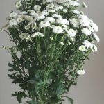 自分が使った花材事典:スプレー菊(白 ポンポン咲き)