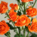 自分が使った花材事典:スプレーバラ(オレンジ)