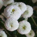 自分が使った花材事典:豆菊(スプレー菊:白)