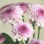自分が使った花材事典:スプレー菊(紫ぼかし)