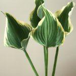 自分が使った花材事典:ギボシ(斑入り)