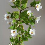 自分が使った花材事典:バイカウツギ(ベルエトワール)
