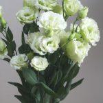 自分が使った花材事典:トルコキキョウ(白グリーン)