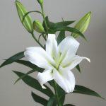 自分が使った花材事典:オリエンタル系ユリ(多分、アナカプリ)