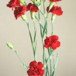 自分が使った花材事典:カーネーション(赤 スプレー)