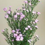 自分が使った花材事典:クジャクソウ(紫 八重)
