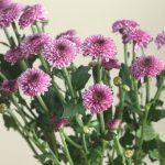 自分が使った花材事典:スプレー菊(ピンク ポンポン咲き)