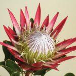 自分が使った花材事典:キングプロテア