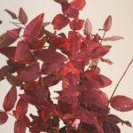 自分が使った花材事典:ヒペリカム(紅葉)