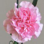 自分が使った花材事典:カーネーション(ピンク 丸弁)
