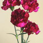 自分が使った花材事典:カーネーション(赤紫)