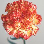 自分が使った花材事典:カーネーション(黄×オレンジ 絞り)