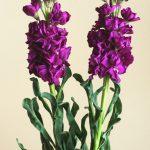 自分が使った花材事典:ストック(紫)