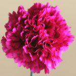 自分が使った花材事典:カーネーション(ローズピンク)