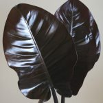 自分が使った花材事典:フィロデンドロン レッドダッチェス