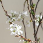 自分が使った花材事典:吉野桜