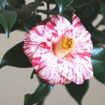 自分が使った花材事典:椿(絞り)