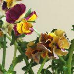 自分が使った花材事典:パンジー(切花品種)