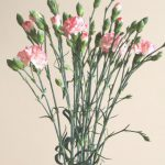 自分が使った花材事典:カーネーション(白×ピンク 絞り スプレー)