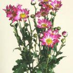 自分が使った花材事典:小菊(ピンクぼかし)