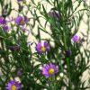 自分が使った花材事典:クジャクソウ(紫)