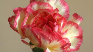 自分が使った花材事典:カーネーション(黄にピンクの縁)
