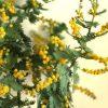 自分が使った花材事典:ミモザアカシア