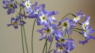 自分が使った花材事典:リューココリネ