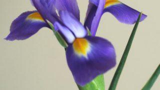 自分が使った花材事典:アイリス