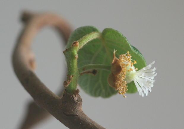 キウイの水栽培 結実