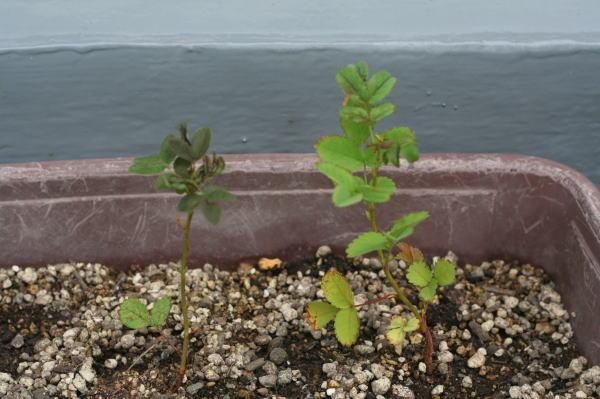 バラの実を植える