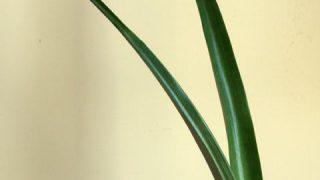 自分が使った花材辞典:パイナップルの葉